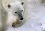 The Realm of the Polar Bear