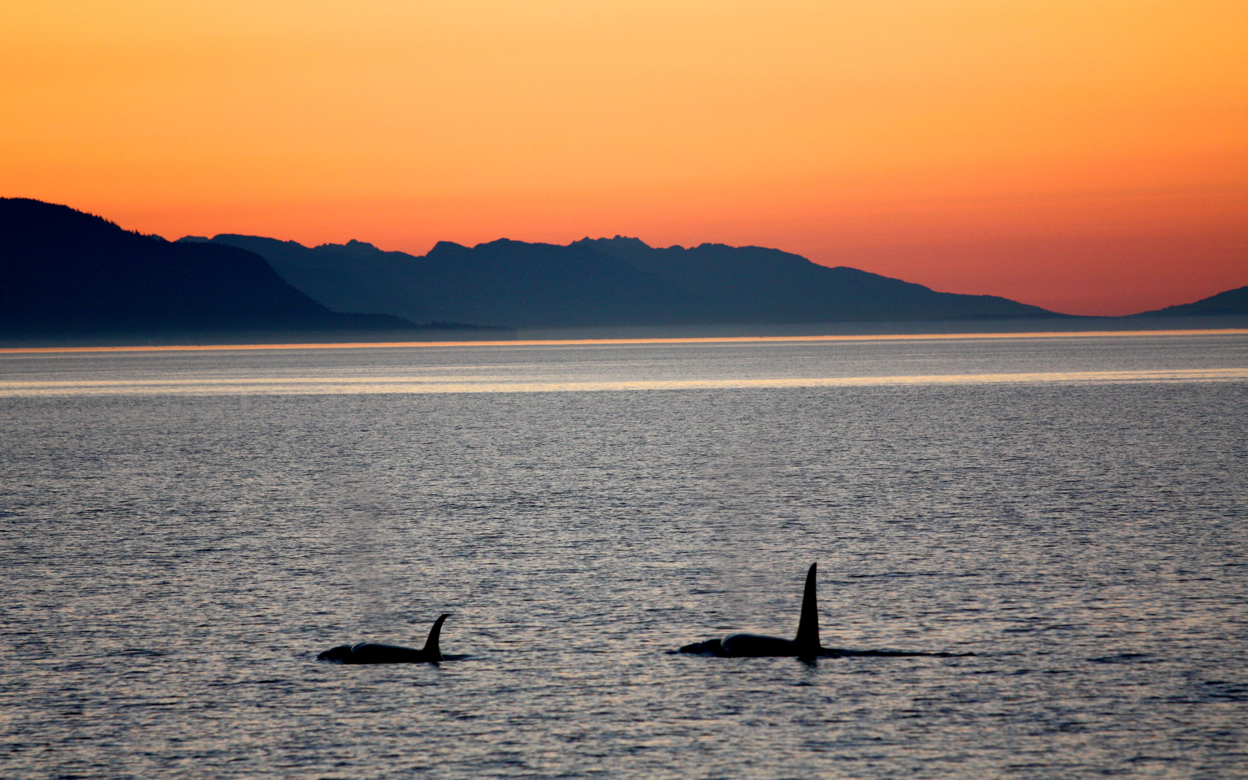 orcas-at-sunset